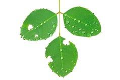 дождь 5 листьев Стоковое Фото