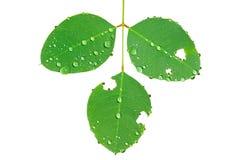дождь 7 листьев Стоковые Изображения RF