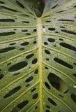 дождь monstera листьев h44 Стоковое фото RF