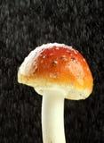 дождь muscaria amanita Стоковая Фотография