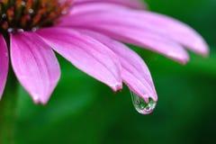 Дождевая капля на фиолетовом Coneflower Стоковая Фотография RF