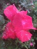 Дождевая капля подняла Стоковые Фотографии RF