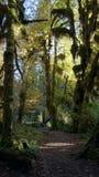 Дождевой лес Hoh, олимпийский национальный парк, ВАШИНГТОН США - октябрь 2014: Былинный Hall следа мхов Деревья предусматриванные Стоковые Фотографии RF