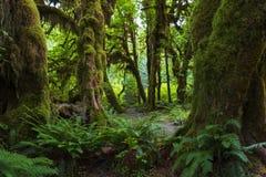 Дождевой лес Hoh Стоковые Изображения