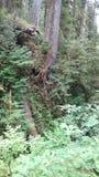 Дождевой лес Quinault Стоковое Изображение