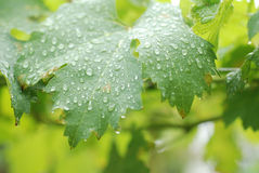 Дождевые капли в листьях виноградины Стоковые Фото