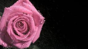 Дождевые капли в супер замедленном движении пропуская на розе акции видеоматериалы
