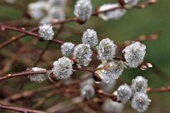 Дождевые капли на дереве весны стоковая фотография rf