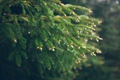 Дождевые капли на зеленой ветви ели Падения игл и воды ели Стоковые Изображения