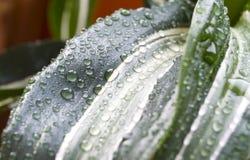 Дождевые капли на зеленых лист ладони Стоковое фото RF