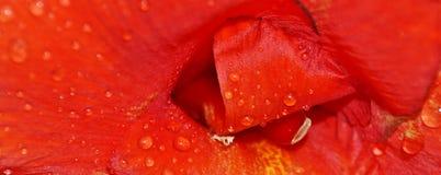 Дождевые капли на красной лилии Стоковое Изображение RF