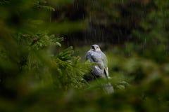 Дождь в лесе с птицей Sparrowhawk хищных птиц евроазиатское, nisus настоящего ястреба, сидя на елевом дереве во время проливного  Стоковое фото RF