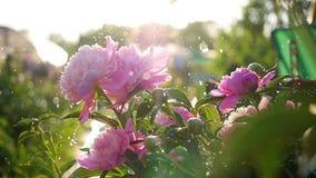 Дождь падает на красивые пионы цветков Солнечный свет лета Сад, природа акции видеоматериалы