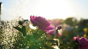 Дождь падает на красивые пионы цветков Солнечный свет лета Сад, природа видеоматериал