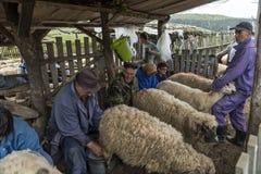 Доить овец в Brezovica на домочадце горы Стоковые Фото