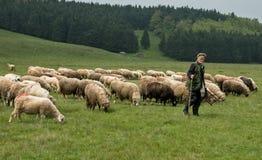 Доить овец в Brezovica на домочадце горы Стоковые Изображения