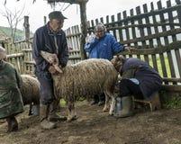 Доить овец в Brezovica на домочадце горы Стоковое Изображение RF