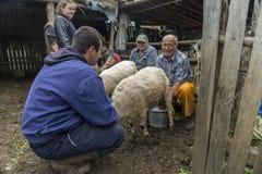 Доить овец в Brezovica на домочадце горы Стоковая Фотография