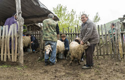 Доить овец в Brezovica на домочадце горы Стоковое Фото