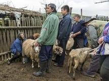 Доить овец в Brezovica на домочадце горы Стоковые Изображения RF