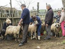 Доить овец в Brezovica Стоковые Фото