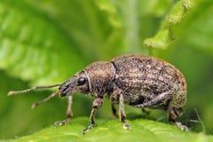 долгоносик дня конца жука воздуха открытый поднимающий вверх Стоковые Фотографии RF