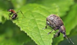 долгоносик дня конца жука воздуха открытый поднимающий вверх Стоковые Фото