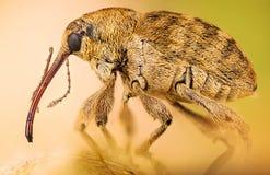 Долгоносик жолудя, glandium Curculio, долгоносик гайки, nucum Curculio стоковые фото
