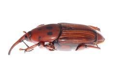 долгоносик рыльця жука Стоковое Изображение RF