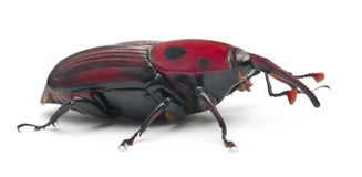 долгоносик rhynchophorus женской ладони красный Стоковое Изображение RF