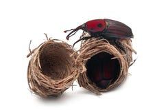 долгоносик rhynchophorus ладони ferrugineus красный Стоковые Фото