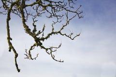 долина дуба ветви Стоковое фото RF
