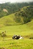 долина коровы cocora Стоковые Фото