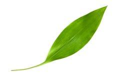 долина лилии листьев Стоковые Изображения RF