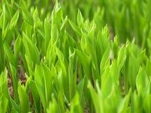 долина лилии поля Стоковое Изображение