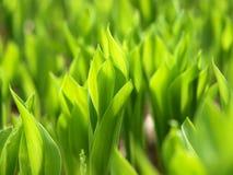долина лилии поля Стоковое Изображение RF