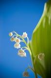 долина лилии цветка Стоковая Фотография RF