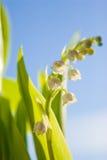 долина лилии цветка Стоковые Фото
