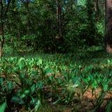 долина лилии Стоковая Фотография