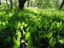долина лилии Стоковое Изображение RF