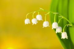 долина лилии Стоковая Фотография RF
