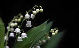 долина лилии Стоковые Изображения RF
