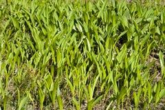 долина лилий поля Стоковое Изображение