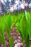 долина лилий Стоковое фото RF