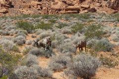 Долина Невады огня, Ram снежных баранов пустыни стоковое фото rf