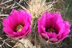 долина смерти кактусов цветастая Стоковое Фото