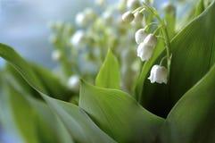 долина posy лилии Стоковое фото RF