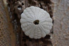 Доллар песка на driftwood Стоковое Фото