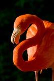Доллар фламингоа Стоковые Фотографии RF