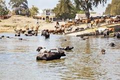 Домашнее время для буйвола и скотин после погружения Стоковая Фотография